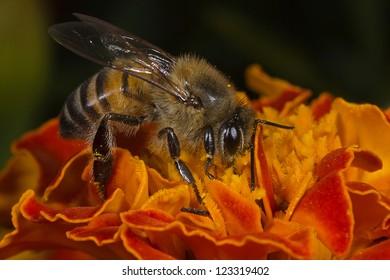 African Honey Bee (Apis Mellifera)