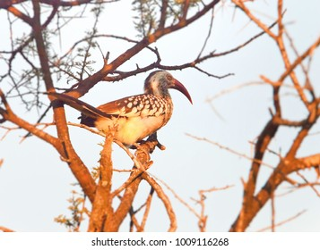 African Hornbill  bird, in the natural African habitat, Bucerotidae