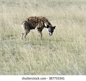 African hyenas in Amboseli National Park . Kenya, Africa .