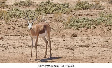 African Impala