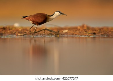 African jacana Actophilornis africana, small african wader  with long toes in movement in shallow water of lagoon against reddish background. Colorful, evening light, ground level photography. KwaZulu