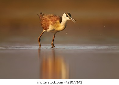 African jacana, Actophilornis africana,small african wader  with long toes in movement in shallow water of lagoon against reddish background. Colorful, evening light, ground level photography. KwaZulu