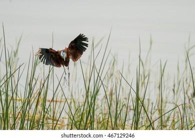 African Jacana in mid flight over Hawassa Lake