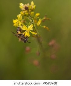 African Killer Bee on Yellow Bulbine Flower