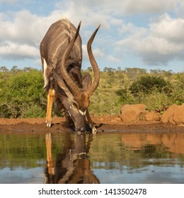 The african kudo is drinking water.