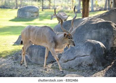 African Kudu