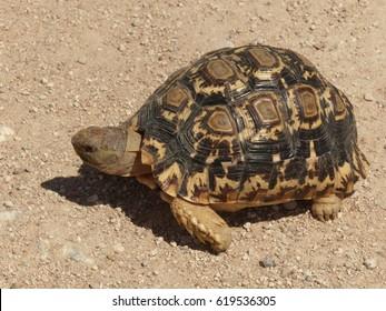 African Land Turtle near Otavi / Namibia