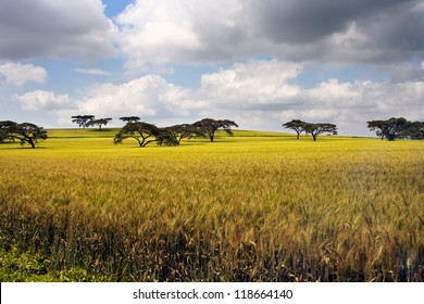 African landscape with acacia, Kenya