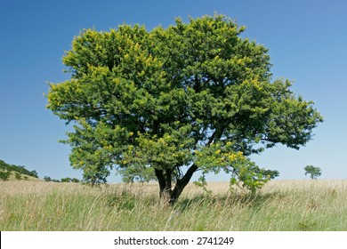 African landscape with an African Acacia tree (Acacia natalitia), South Africa