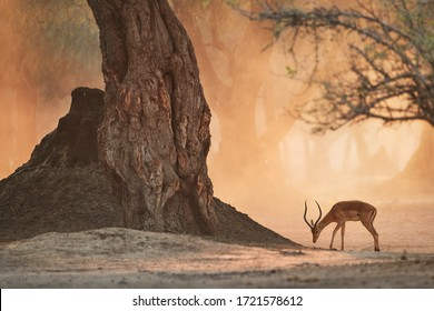 African landscape with animals. Impala antelope in orange cloud of dust, illuminated by morning sun. Ancient forest of Mana Pools, Zimbabwe.