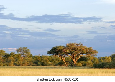 African landscape with a beautiful Acacia tree (Acacia erioloba), Hwange National Park, Zimbabwe, southern Africa