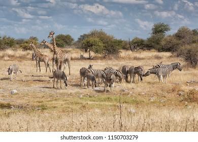 african landscape with giraffe and zebra herd in the arid african savanna, Etosha National Park, Namibia, Africa