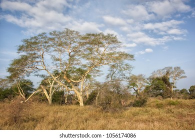 african landscape with grassland and yellow fever trees, Mkhuze Game reserve, South Africa