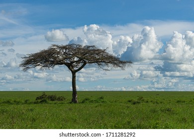 African landscape with indigenous Umbrella Thorn Acacia tree, Serengeti Conservation Area. Never ending blue sky with white beautiful clouds.