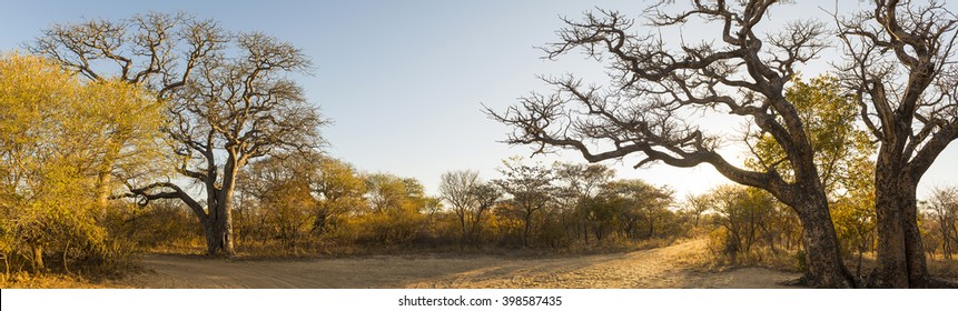African landscape panorama at sunrise with Baobab and Manketti trees in Botswana, Africa