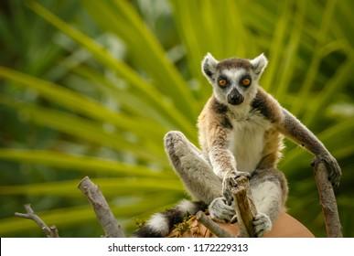 African lemur sitting on a village pot