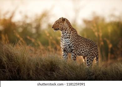 Afrikanische Leoparden-weibliche Pose in schönem Abendlicht. Erstaunlicher Leoparden in der Natur. Tierwelt mit gefährlichen Tieren. Heißes Wetter in Afrika. Panthera pardus pardus.