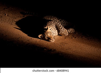 african leopard at night lying down on dusty road looking at the camera