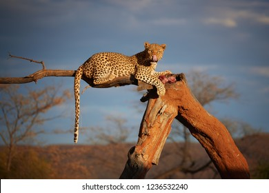African Leopard, Panthera pardus in beautiful light, female lying on a tree, eating bloody meat, staring directly at camera against dark sky. Animal action scene.  Wildlife photography in Namibia.