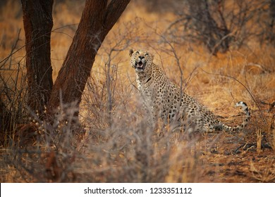 African Leopard, Panthera pardus, big  male in typical environment of dry savanna, looking up at tree with hidden prey. African animal action scene. Wildlife photography, Okonjima, Namibia.