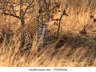 African Leopard, Panthera pardus demonstrates the effectiveness of its cryptic coloration in Hwange national park, Zimbabwe.