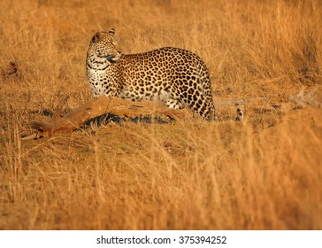 African Leopard, Panthera pardus looking around in dry grass of savanna demonstrates the effectiveness of its cryptic coloration in Hwange national park, Zimbabwe.