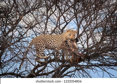 African Leopard, Panthera pardus, male on a tree eating prey, looking at camera. Wild animal action scene.  Wildlife photography in Okonjima, Namibia.