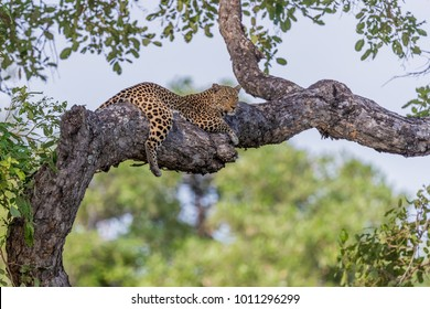 African leopard (Panthera pardus) resting in a tree, South Luangwa, Zambia, Africa.