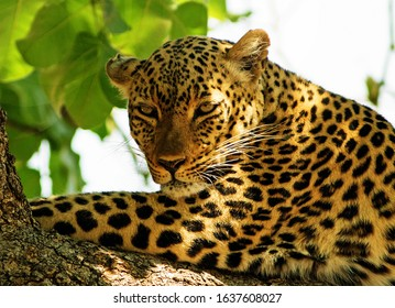 African Leopard (panthera pardus) resting on a large branch with nice sunlight on face in south luangwa national park, zambia