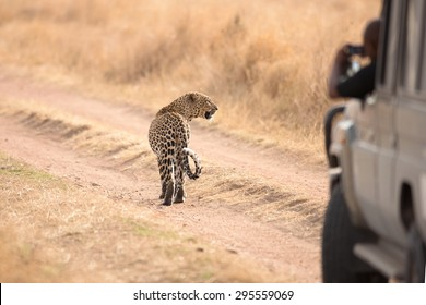 The African leopard (Panthera pardus) in Serengeti National Park, Tanzania