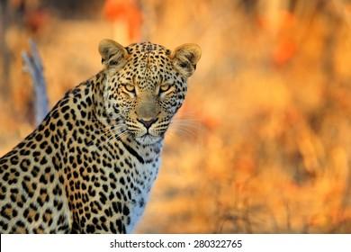African Leopard, Panthera pardus shortidgei from Hwange National Park, Zimbabwe, portrait eye to eye with nice orange background.