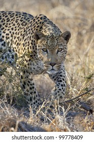 African Leopard (Panthera pardus) stalking, South Africa