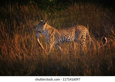 African Leopard, Panthera pardus,  wild animal with antelope leg in jaw. Beautiful big cat walking in morning savanna.  African scene.  Wildlife photography in South Africa. Timbavati, Kruger park.