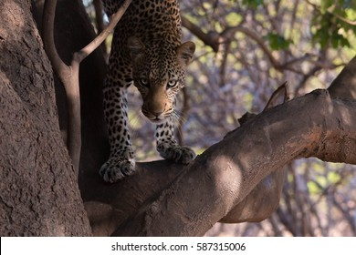 African leopard seen in a tree during a safari in the South Luangwa Valley of Zambia, Africa.