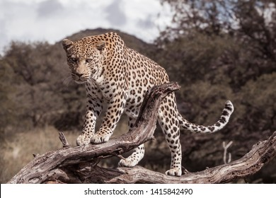african leopard standing  on a branch of a tree