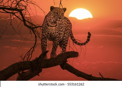 african leopard standing on a branch of a tree at sunset