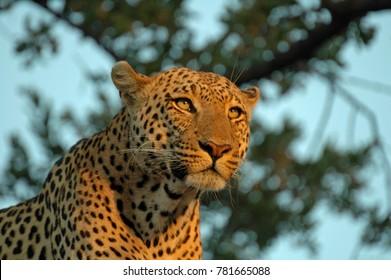 An African Leopard, taken in the Okavango Delta, Botswana