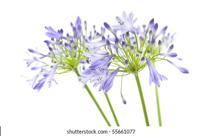 African lily; Agapanthus africanus; isolated