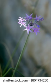 African Lily (Agapanthus praecox Willd) flowering on the shore of Lake Iseo in Italy