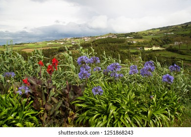African lily and arrowroot, flowering on an open farm space azores landscapes