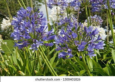 African lily in a garden