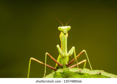 African lined mantis (Sphodromantis lineola) or African praying mantis, is a species of praying mantis from Africa - closeup with selective focus.