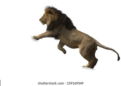 African lion against white background
