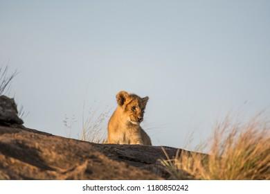 African lion cub  in Masai Mara Game Reserve, Kenya