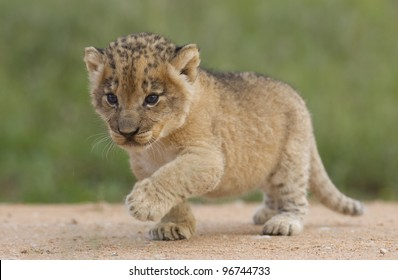 African Lion cub, (Panthera leo) South Africa, 4 weeks old