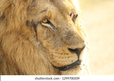 African Lion Face Profile showing fresh battle scars around eyes