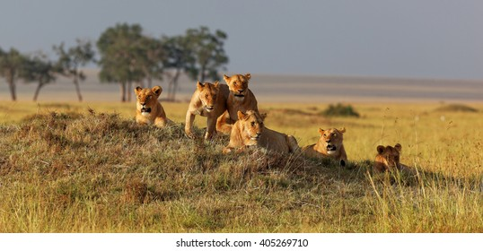 African lion family on watch on a knoll at sunset, Masai Mara, Kenya, Africa