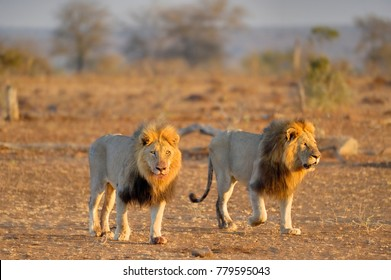 AFRICAN LION  (Felis leo) Coalition of pride males patrol through the dawn