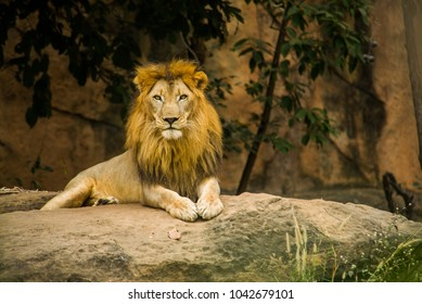 African Lion looking camera
