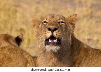 African Lion (Panthera leo), female . Savuti, Chobe National Park, Botswana.